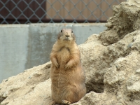 zoo-prairie-dogs